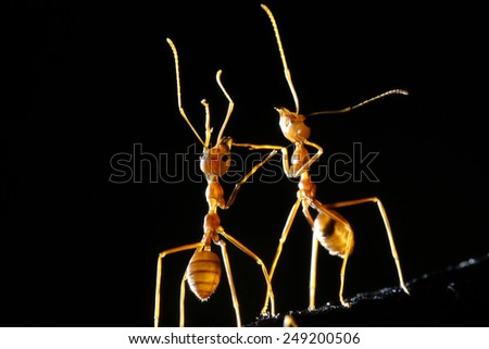 Red ants on black background - stock photo