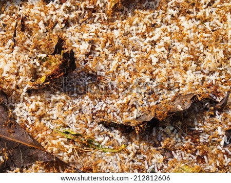 Red ants with their eggs. Red ant eggs are eaten in Isan (northeast) and other parts of Thailand. There are many different local recipes that call for red ant eggs. - stock photo