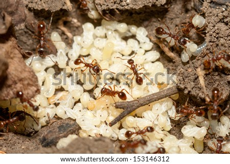 Red ants with white eggs on anthill - stock photo