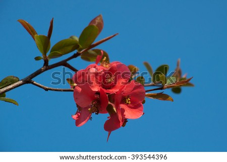 Red apple blossom opposed to blue sky - stock photo