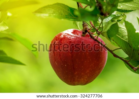 Red apple on branch after rain, organic home grown fruit in apple orchard, selective focus