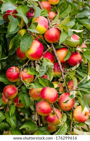 Red apple on branch with green leaf