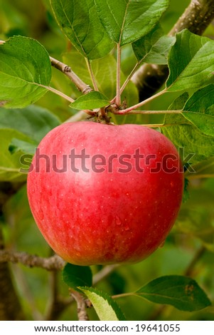 red apple on tree ready for picking
