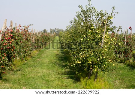 Red apple orchard - stock photo