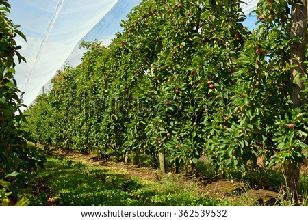 Red Apple Orchard under shade cloth in mid-summer Motueka - the apple growing capitol of New Zealand. Cloth protects the apples from hail and birds. - stock photo
