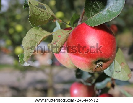 Red apples grows on a  branch  in garden near house