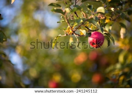 Red apples hanging on the tree and ready for picking. - stock photo