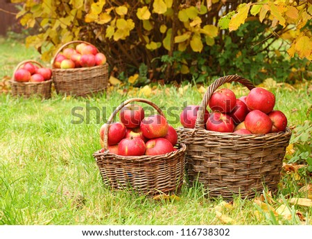 Red apples in the basket. Autumn harvest at the Bio orchard.