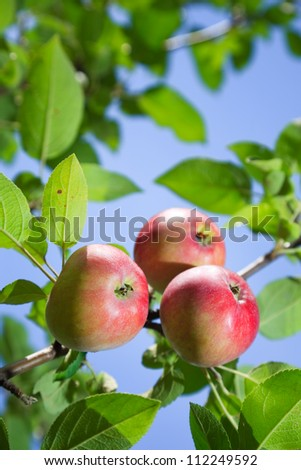 Red apples on an apple-tree branch in the garden
