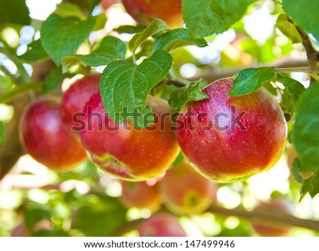 Red apples on apple tree branch - stock photo