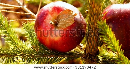 Red apples on the fir tree