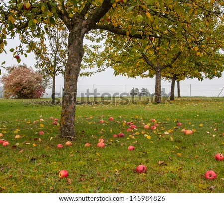 Red apples on the grass under apple tree  - stock photo