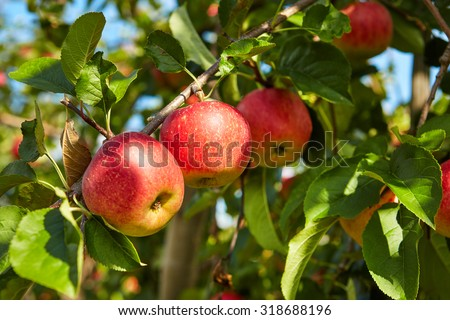 red apples on the trees in the orchard - stock photo