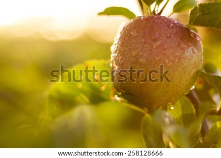red apples on tree in orchard in morning during sunrise with dew - stock photo