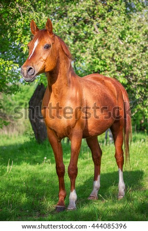 Red Arabian horse in the garden - stock photo