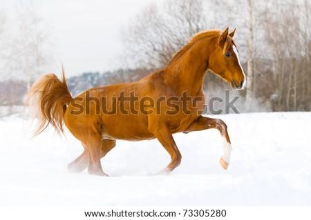 red arabian stallion runs gallop in the winter - stock photo