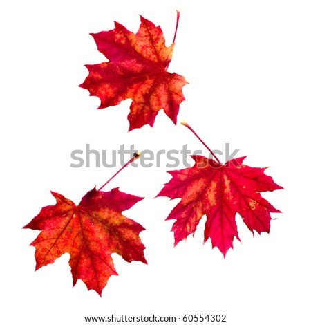 red autumn leaf isolated on a white background. - stock photo