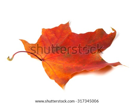 Red autumn maple leaf. Isolated on white background. - stock photo