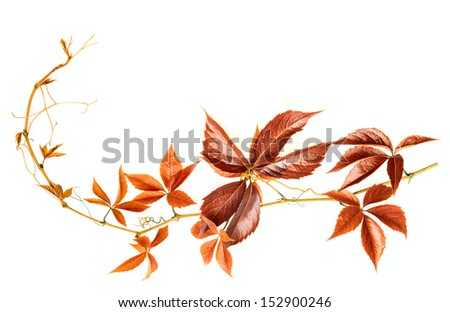red autumnal branch on white background - stock photo