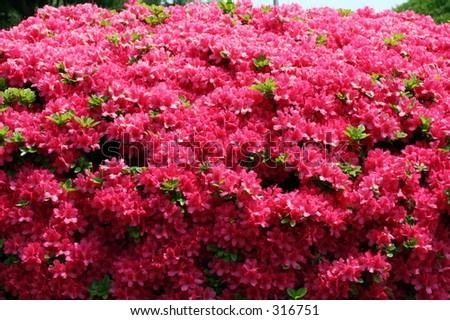 Red Azaleas, taken outside of Tokyo, Japan. - stock photo
