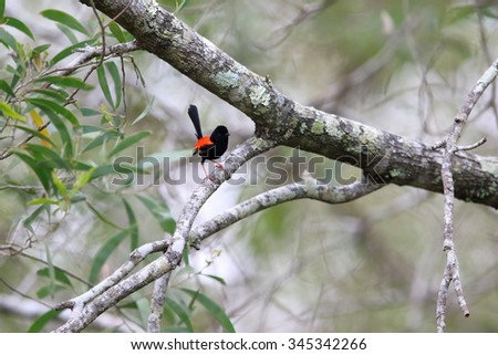 Red-backed fairywren (Malurus melanocephalu) in Australia
