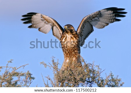 Red-backed Hawk spreading its wings (Buteo polyosoma). Patagonia, Argentina, South America - stock photo