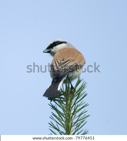 red-backed shrike - stock photo