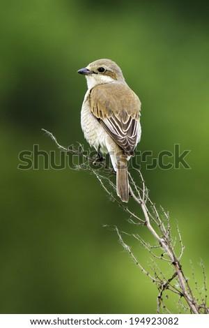 Red-backed Shrike, female / Lanius collurio - stock photo