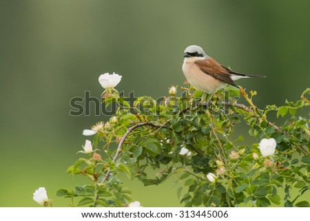 Red-backed shrike - Lake Neusiedl
