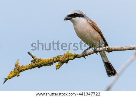 Red-backed shrike (Lanius collurio) male with food in its beak