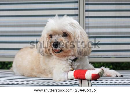 red bandage on front right leg of injured Shih Tzu - stock photo