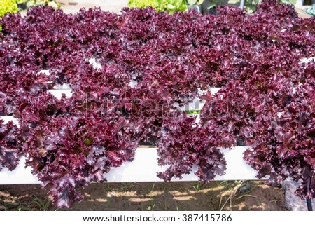 Red batavia vegetable in hydroponic farm,Red oak - stock photo