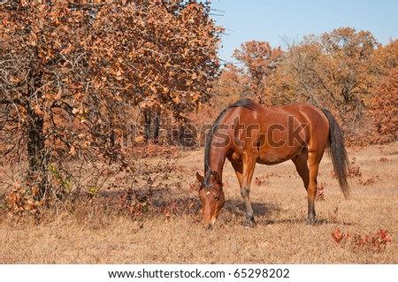 Red bay Arabian horse grazing in a dry fall pasture on a sunny day - stock photo