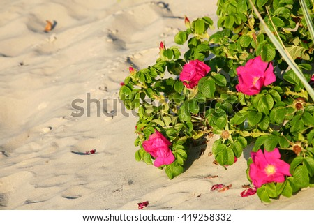 Red beach roses grow on sand dunes on the beach can be seen in the light of the setting sun in Kolobrzeg in Poland - stock photo