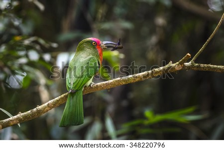 Red-bearded Bee-eater : Bird in thailand : Bird in thailand