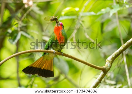 Red-bearded Bee-eater(Nyctyornis amictus)with cicada spread her tail in nature