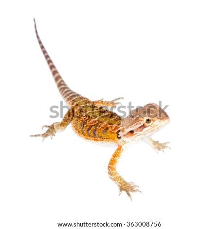 Red Bearded dragon, Pogona vitticeps, isolated on white background - stock photo