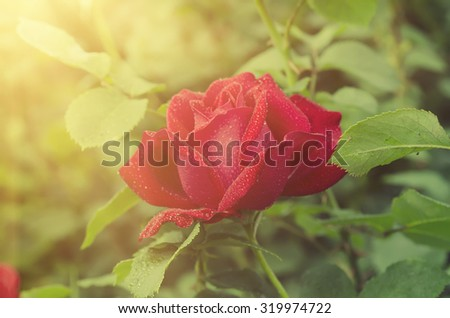 Red beautiful  rose growing in the garden, floral sunny background - stock photo