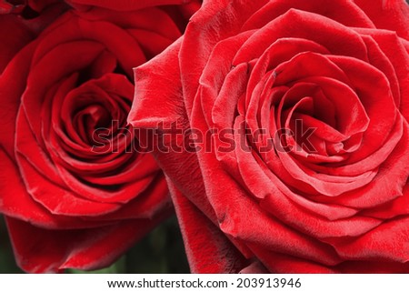 Red beautiful roses closeup as a background - stock photo