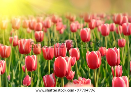 Red beautiful tulips field in spring time with sun rays - stock photo