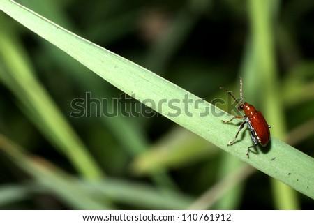Red beetle on leaf - stock photo