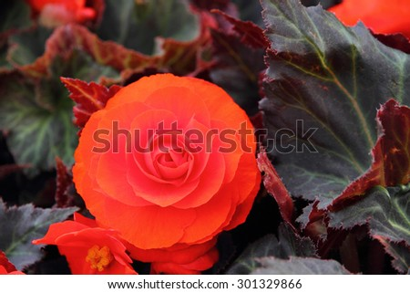 Red Begonia flower  - stock photo