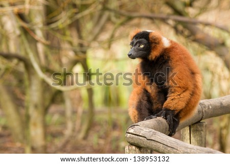 Red-bellied Lemur (Eulemur rubriventer) on a wooden fence - stock photo