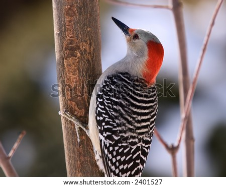 Red Bellied Woodpecker - stock photo