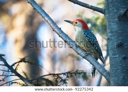 Red-Bellied Woodpecker Perched in Tree - stock photo