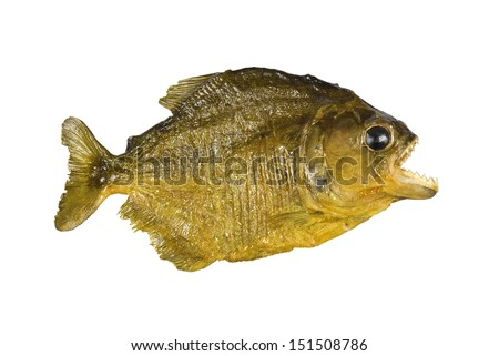 Red Belly Piranha with mouth wide open, isolated on a white background - stock photo