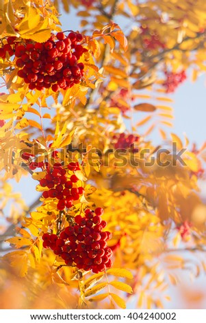 Red berries and yellow autumn leaves on a rowan tree in october