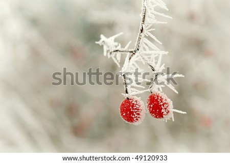 Red berries covered with frost at the beginning of winter. - stock photo