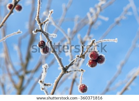 red berries covered with ice crystals