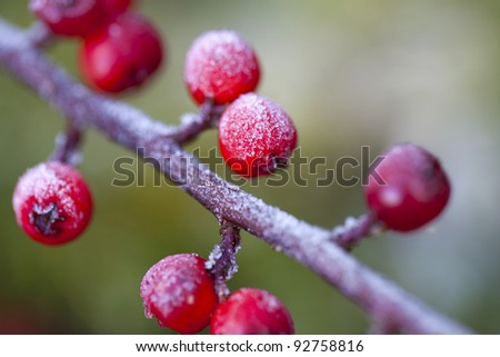 red berries covered with morning frost - stock photo